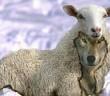 Wolf-Sheep (1)
