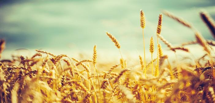 wheat_grain-wide
