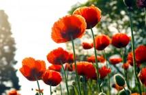 spring-flower-Poppy-780