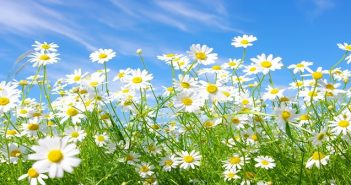 chamomile_flowers_meadow_sunny_green_sky_summer_34390_3840x2400