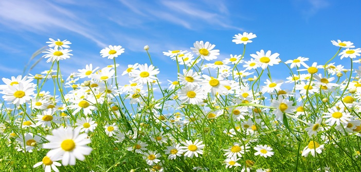 chamomile_flowers_meadow_sunny_green_sky_summer_34390_3840x2400